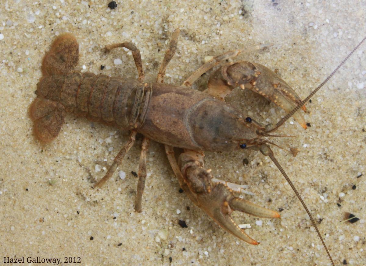 Appalachian Brook Crayfish Mountain Lake Biological Station U