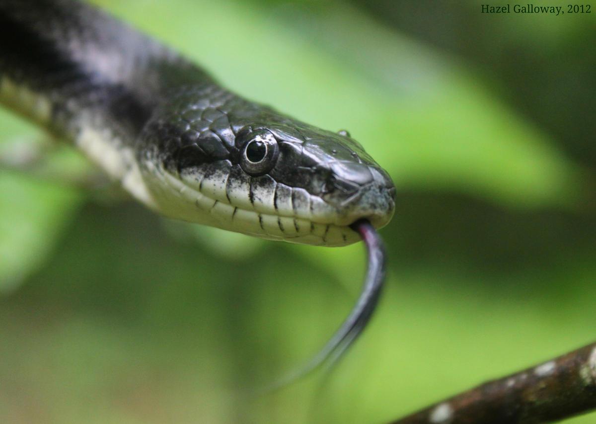 Black Rat Snake | Mountain Lake Biological Station, U Va